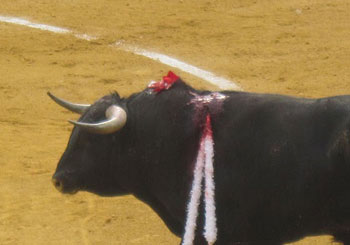 A bloodied and weakened bull awaits his horendous fate.