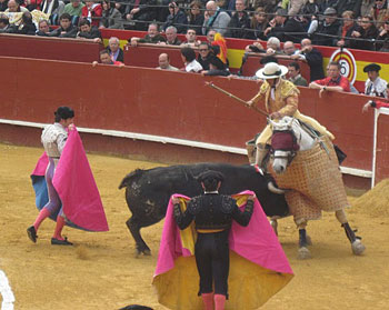The angry bull charges the picador and his horse