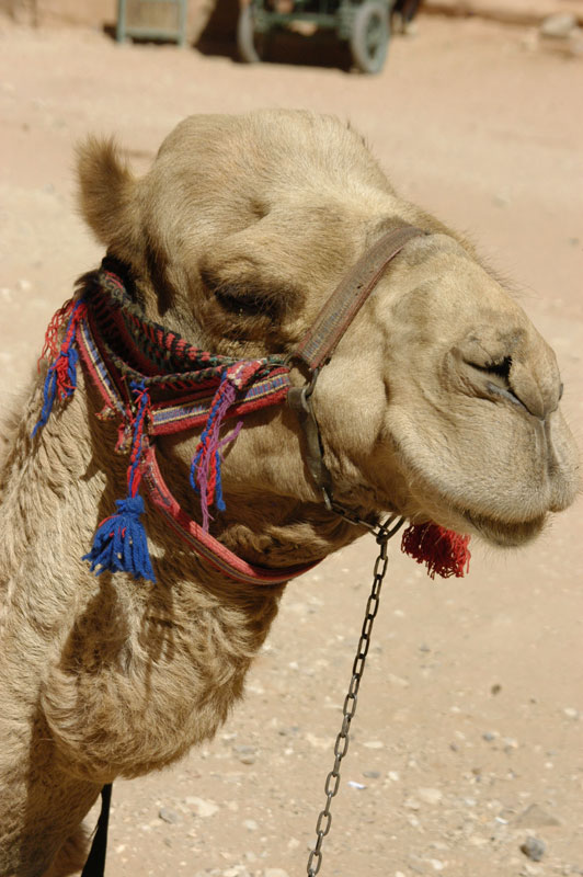 A camel at Petra in Jordan