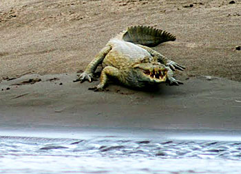 A caiman shows its teeth on the riverbank.