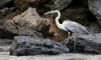 The Tambopata Reserve is rich in wildlife, and a particular favorite for bird-watchers