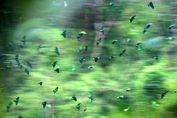 A flock of parrots circles near a claylick