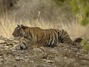 Tiger on the prowl in India. photo TOFT.