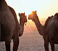 Camels are a fun way to tour the Sinai.