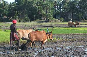 Plowing with a water buffalo - photos by Sony Stark