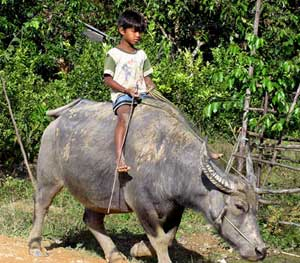 A young boy rides one of the water buffaloes used for plowing in Vietnam. Photos by Sony Stark
