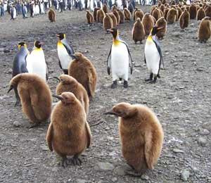 Gentoo penguins and their chicks - photos by Chloe JonPaul