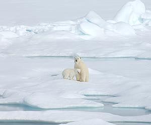 A polar bear with her cub