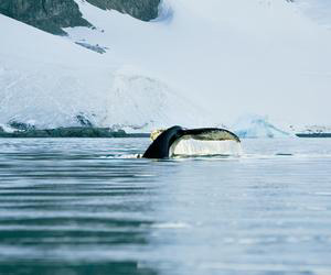 A whale breaches the arctic waters.