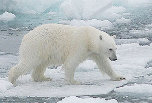 The polar bear, which weighs about half a ton, is the dominant predator of the Arctic.