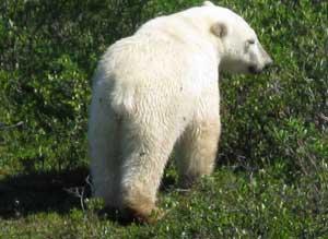A polar bear in Churchill, Manitoba - photos by Margie Godlsmith