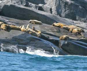 Walruses seen from the Zodiac