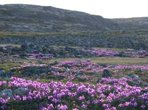Wildflowers on the tundra