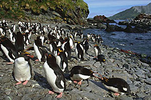 Rockhopper penguins on South Georgria