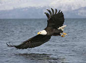 A bald eagle in Alaska