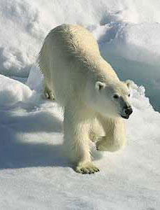A polar bear in the Canadian Arctic