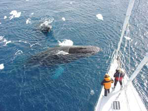 Whalewatching aboard 'The Spirit of Sydney' in Antarctica