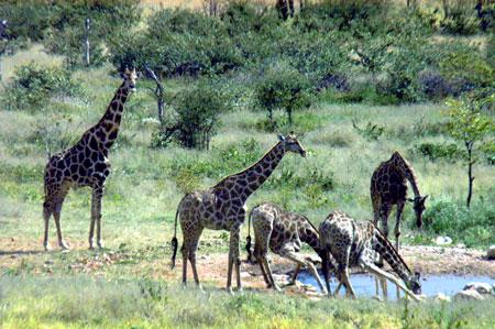 Giraffes in Damaraland in Namibia