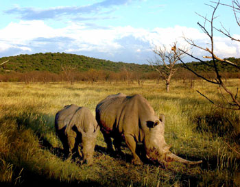 Rhinos at Damaraland