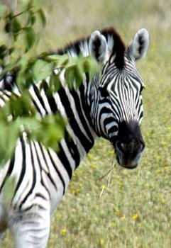 A zebra in Namibia. Photos by Janis Turk.