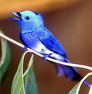 Amazing bluebird in Borneo.