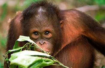 Orangutan in Borneo. photos: Aqua-Firma.