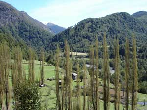 Patagonian farmers all plant poplars -- called alamo.