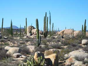 Cacti growing in the boulder fields outside Cataviña