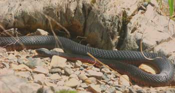 A red-bellied black snake