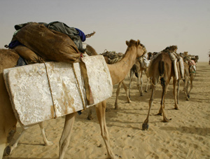 Camels hauling salt in the Sahara desert. Photos by James Dorsey.