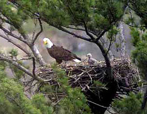 An eagle's nest on the Upper Iowa