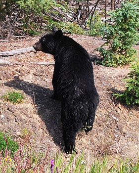 A black bear in the Yukon