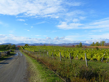Vineyards on the Ile d'Orleans in Quebec