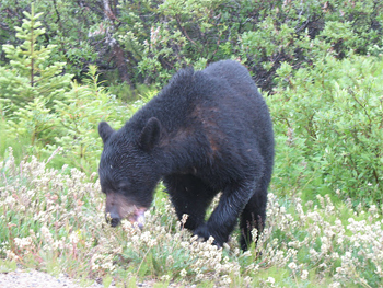 A Black Bear forages next to a side road