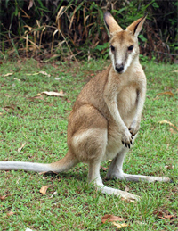 A wallaby greets us on the banks of the Katherine River.