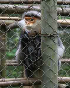 A long-tailed Langur monkey