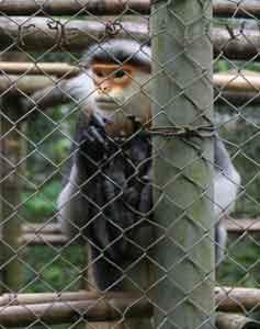 A long-tailed Langur monkey