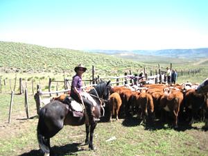 Rustling cattle.