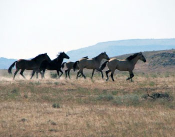 Wild mustangs near Sand Creek in Surprise Valley California.