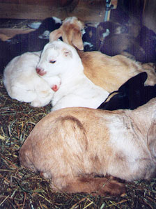 Baby goats love to sleep in a 'pile of cuteness.'