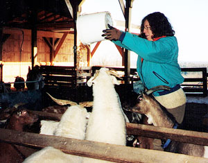 The author, feeding grain to hungry goats
