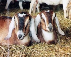 Twin goats at Overlook Farm in Rutland, Massachusetts. Photos by Liisa Ecola