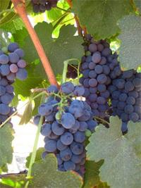 Grapes at South Coast Winery.