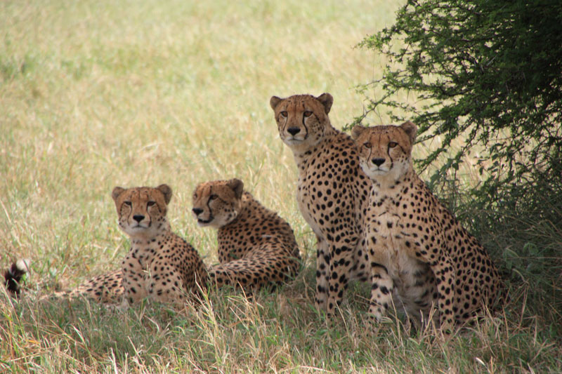 Cheetahs at the Djuma Private Game Reserve in South Africa