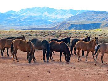 Wild mustangs at Windhorse Relations in Kayenta, Utah