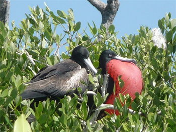 Frigate male with red chest tries to impress a prospective mate on Isla Contoy, near Cancun, Mexico.