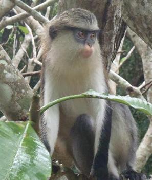 Tafi-Atome monkey at the monkey reserve.