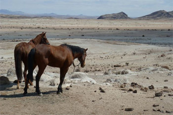 Horses in the Namib desert. photos by Dina Bennett.
