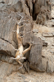 This is a tree. It will come back to life when the rains come.