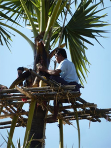 Tapping a palm tree.